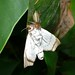 Small photo of Jumping Spider (Salticidae) feeding on a moth