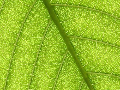 Leaf and veins