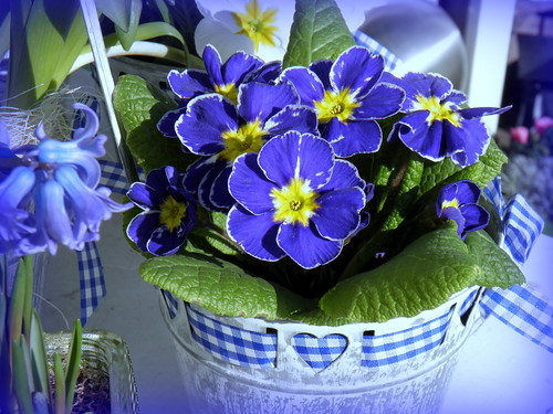 Springtime: Flowers in blue / Feliz Quinta Flores ! Happy Thursday Flowers for all Flickr-Friends !