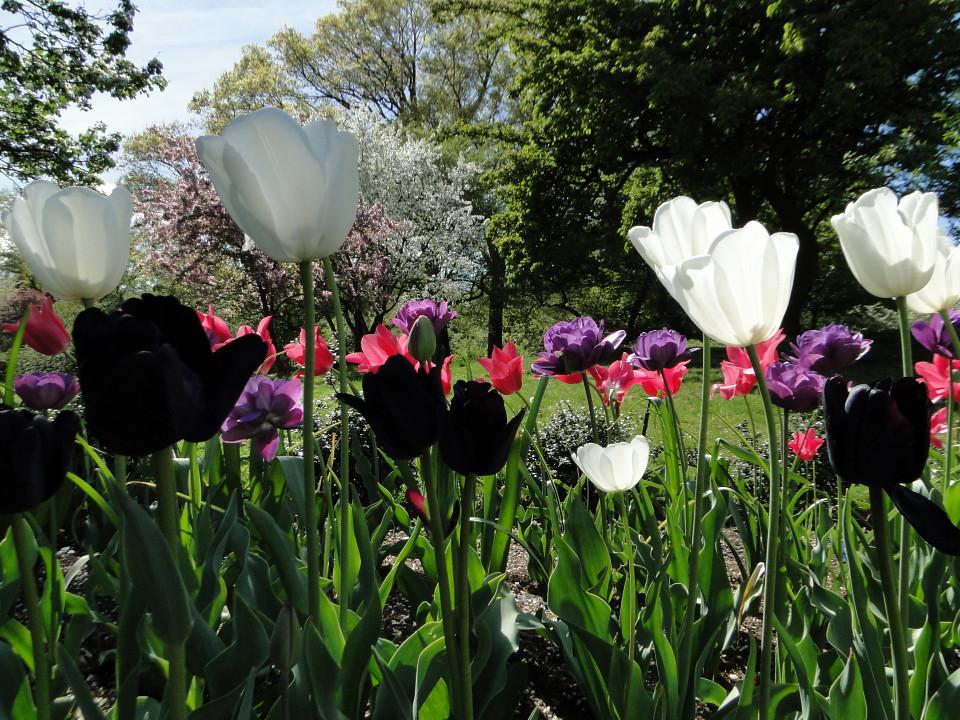 77-21apr12_3930_Botanical_garden_tulip