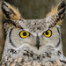 Great-horned Owl-7428.jpg
