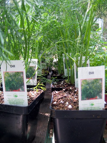 Dill for sale