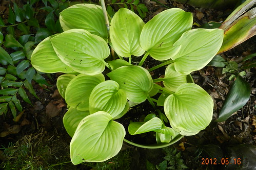 Hosta 'Fragrant Bouquet' x 2
