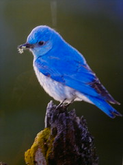 Amazing Blue Mountain Bird photo from Feast by Brad Hill http://beatymuseum.ubc.ca/events#feast @beatymuseum 2012-05-20-4463