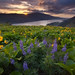 Spring Wildflowers - Rowena, Oregon