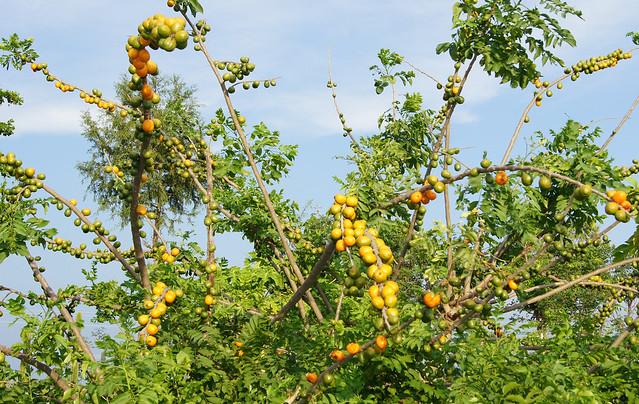 Espondia sp ciruela amarilla flickr photo sharing for Arbol ciruelo de jardin