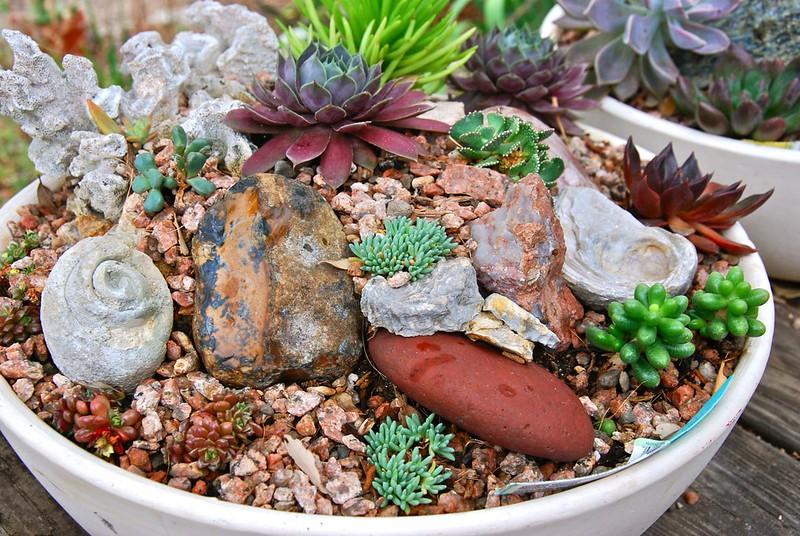 Troth Garden:Alionopsis shooneesii, cremnosedum
