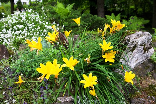 yellow lily. Botanic garden. Lviv, Ukraine
