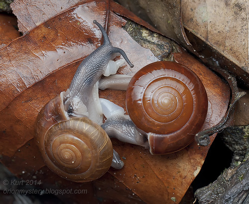 Mating snails IMG_9137 copy