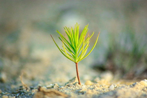 plant tree pine small sapling