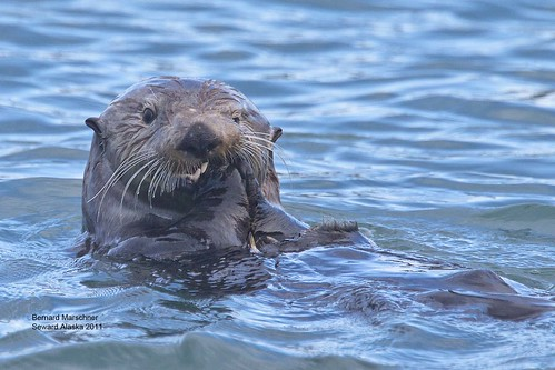 Seward Sea Otter_MG_6167