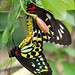 Mating Birdwing Butterflies