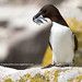 Razorbill Taking a Break!
