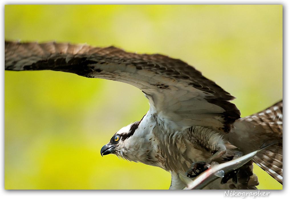 Maine Osprey