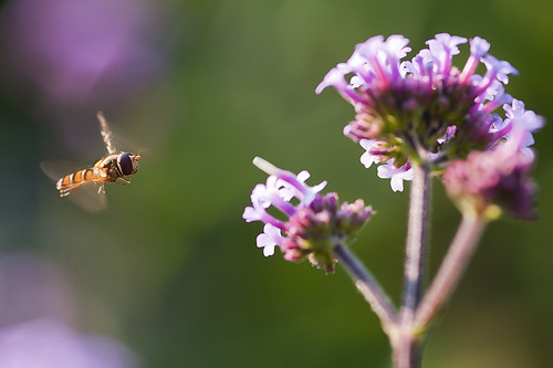 flower macro nature insect flying nikon dof sigma bee incoming hoverfly 105mm d300s
