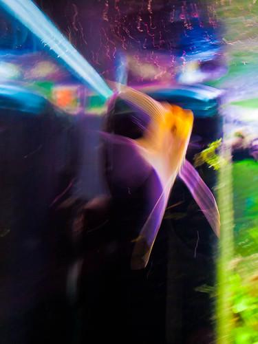 1000/775: 04 April 2012: Angel Fish by nmonckton