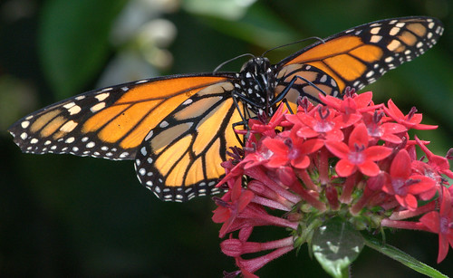 Back-lighted Male Monarch