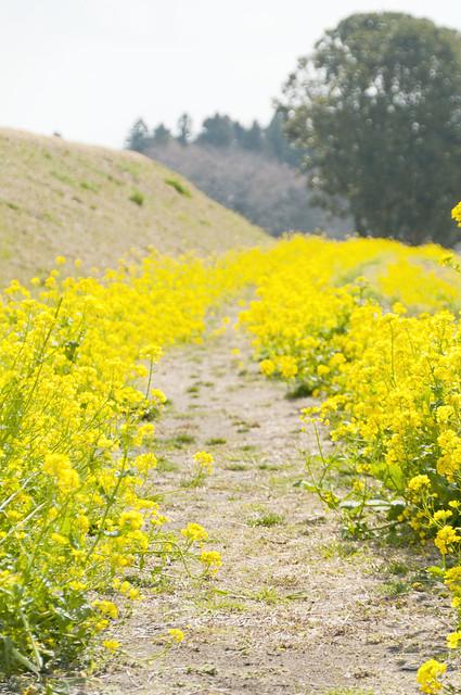 マザー牧場のなの花
