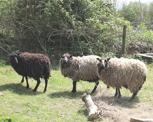 3 shetlands
