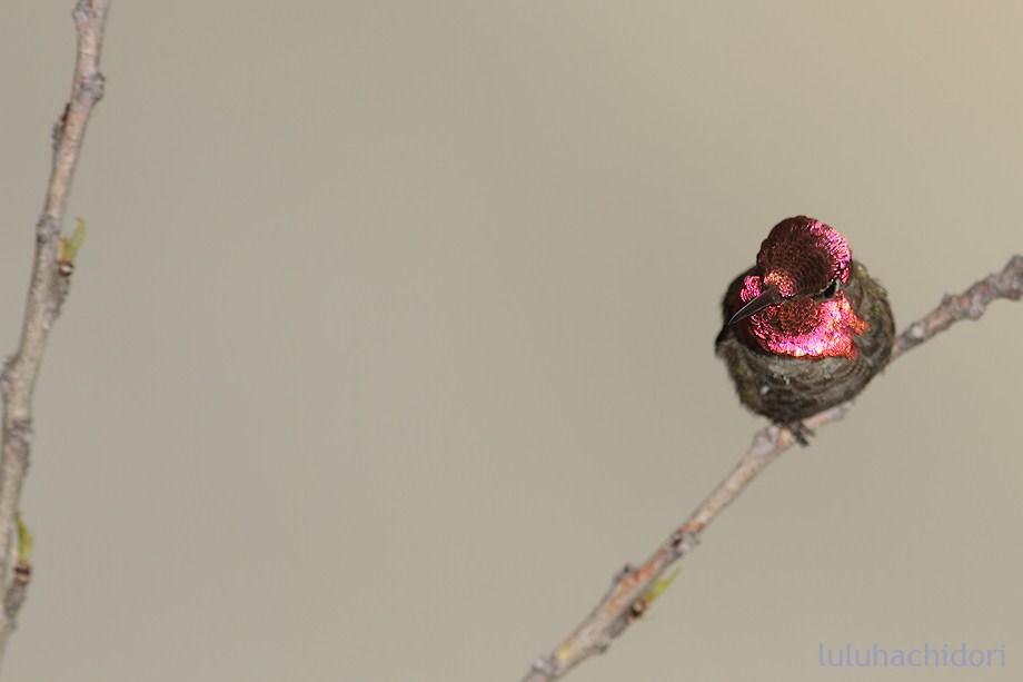 Anna's Hummingbird 051712-2