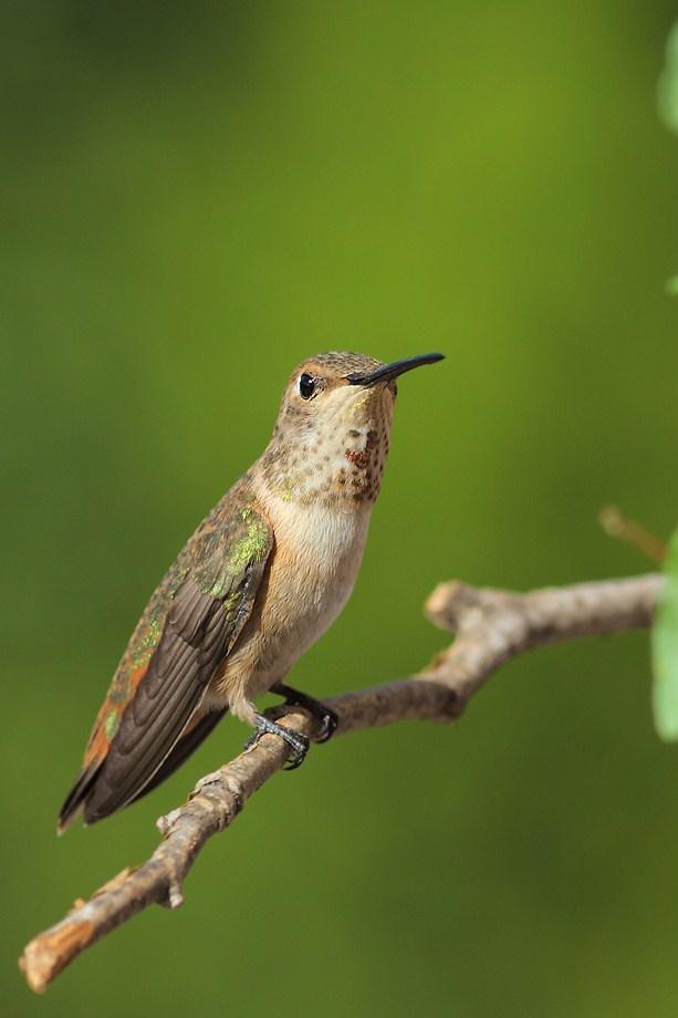Allen's Hummingbird 051812-2