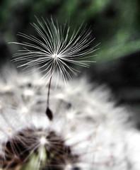 [フリー画像素材] 花・植物, タンポポ, 種子 ID:201206210600