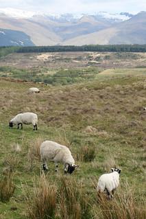 Cairngorms Sheep