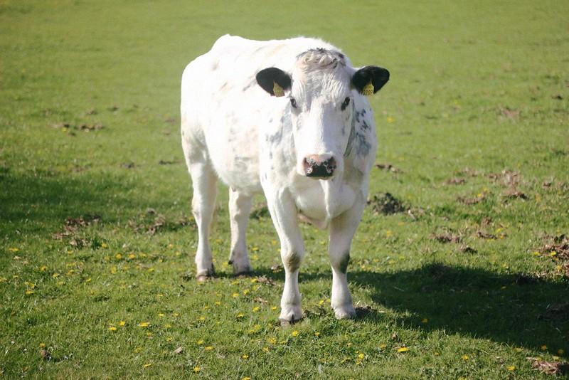 cow altamont garden