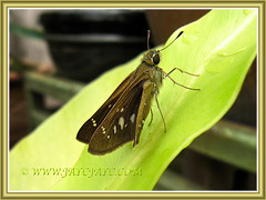 Lerema accius (Clouded Skipper) on Bird's Nest Fern, 3 March 2014