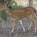 Spotted deer-3