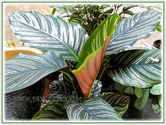 Our potted Calathea ornata 'Sanderiana' (Calathea Broad Leaf, Striped Calathea, Pin-stripe Plant), 16 Dec. 2013