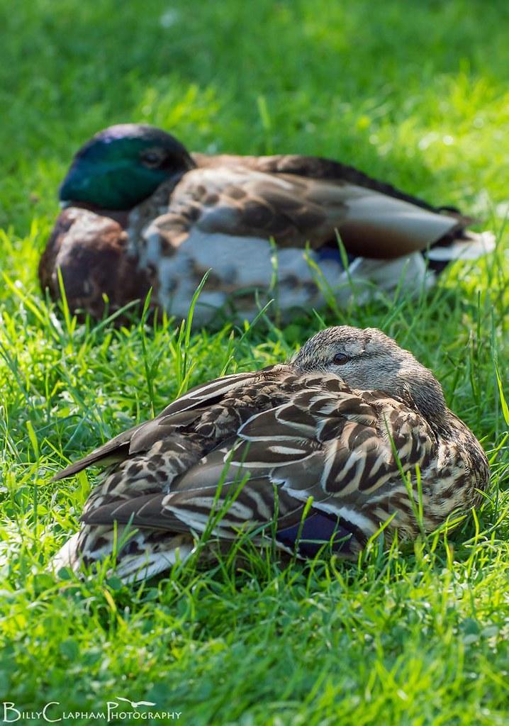 mallard duck pair sleep