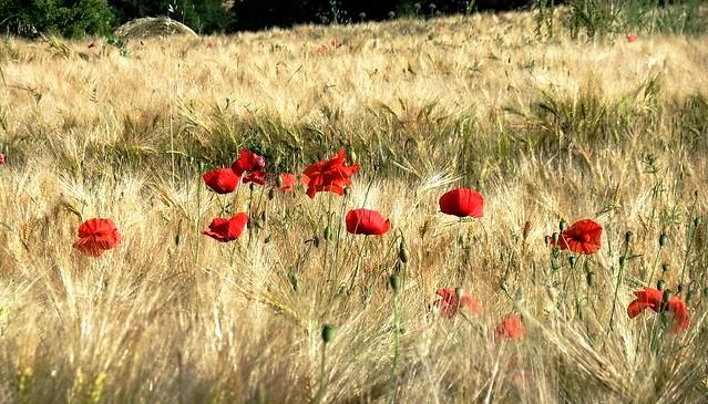 poppies in the wind, Fujifilm FinePix F72EXR