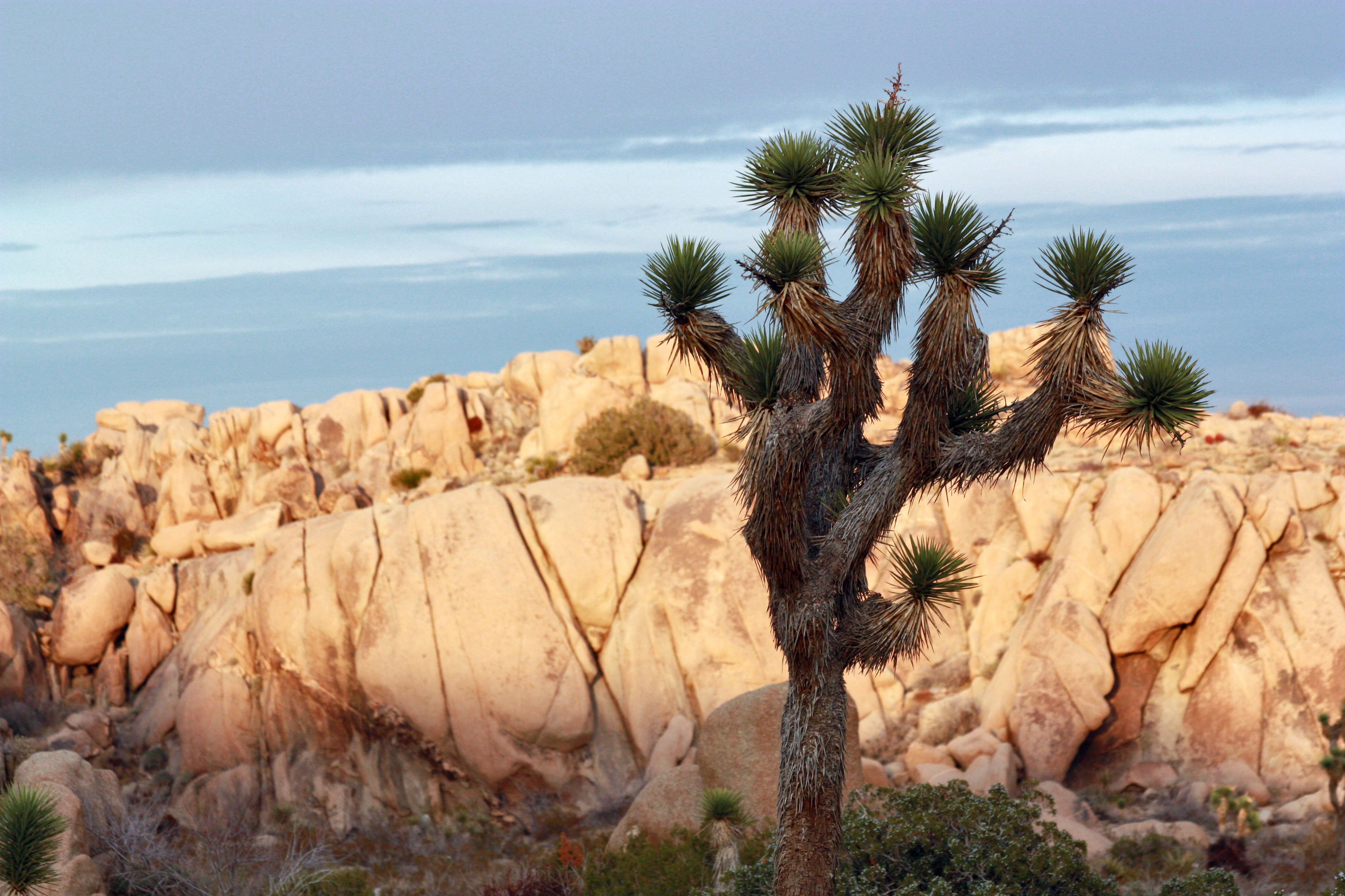 Yucca brevifolia from Flickr via Wylio