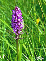 flower, plant, herb, wildflower, flora, dactylorhiza praetermissa, meadow, hyacinth,