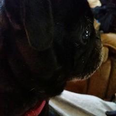 nose(1.0), animal(1.0), dog(1.0), pet(1.0), mammal(1.0), french bulldog(1.0), pug(1.0),