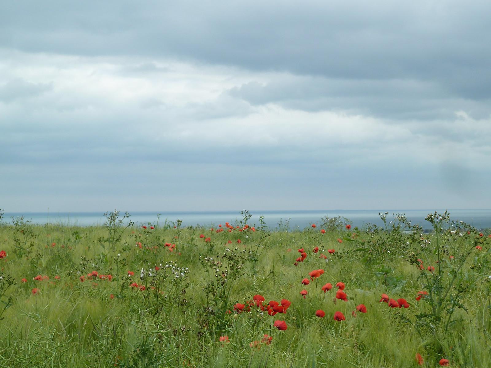 Red Poppies, Blue Sea Amberley to Shoreham, June.