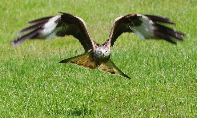 Red Kite 31st May (2)