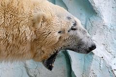 Polar Bear - 31