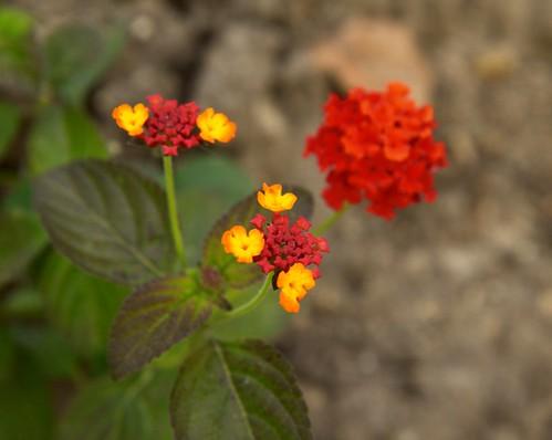 Tiny flowers: Lantana