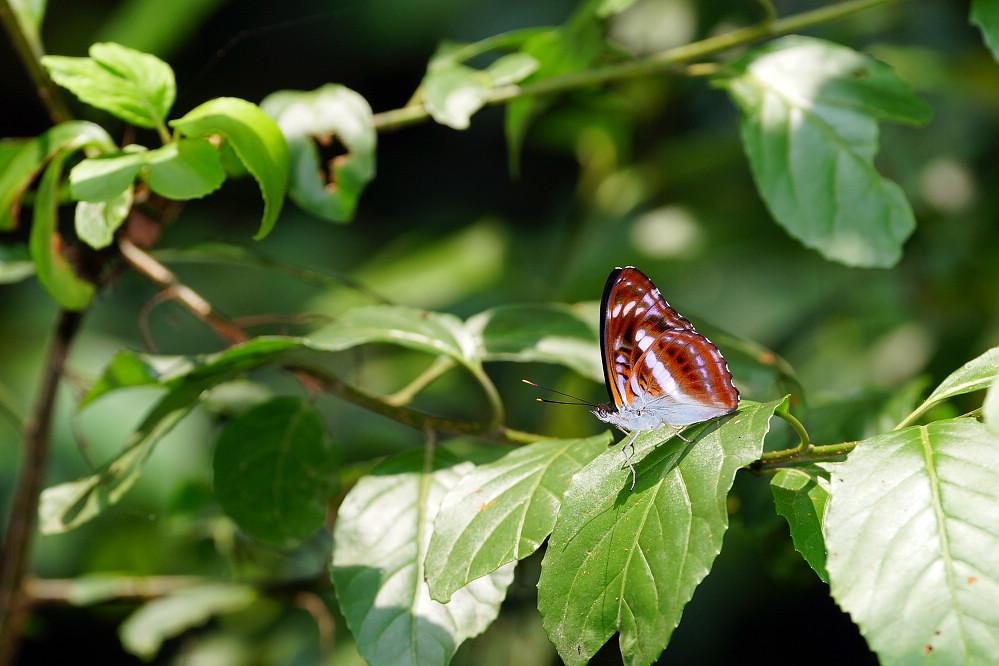 帶蛺蝶屬異紋帶蛺蝶14S102