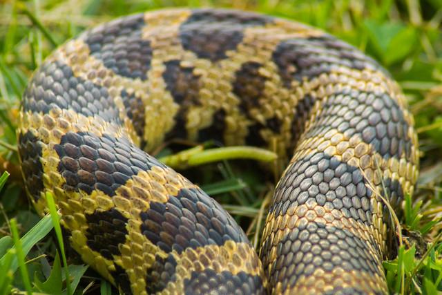 Snake, Fox Snake, Western Fox Snake, Snake Skin, Pine Snake