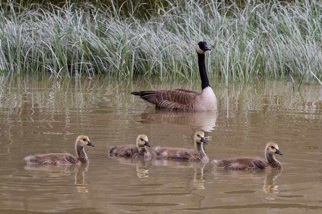 Steveston - Canada Geese
