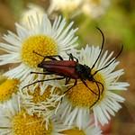 kétöves karcsúcincér - Stenurella bifasciata
