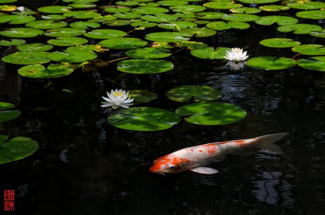 「花と鯉」 天授庵 - 京都