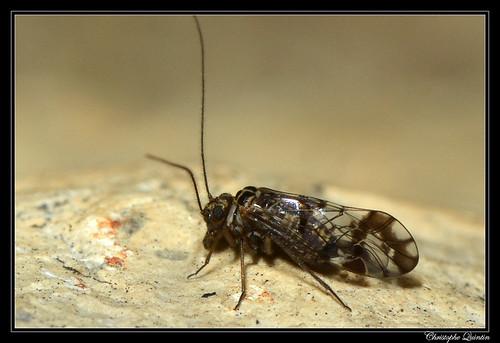 Neopsocus rhenanus mâle
