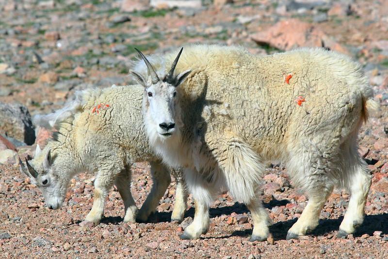 IMG_4634 Mountain Goat