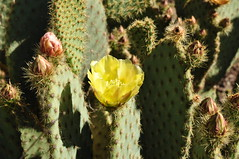 fauna(0.0), echinopsis pachanoi(0.0), nopal(0.0), plant stem(0.0), flower(1.0), barbary fig(1.0), plant(1.0), thorns, spines, and prickles(1.0), flora(1.0), produce(1.0), eastern prickly pear(1.0), caryophyllales(1.0),