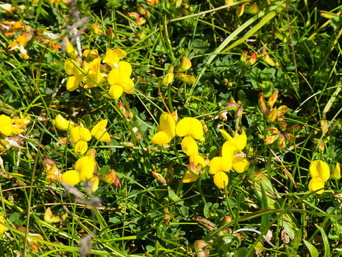 Birdsfoot trefoil flowering