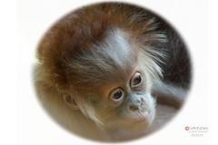 Sumatra Orang Utan with Newborn